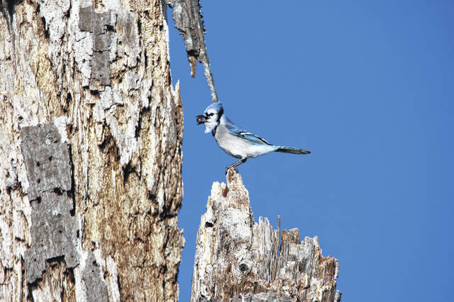 Blue jays are one of the species of bird impacted by the unknown illness.