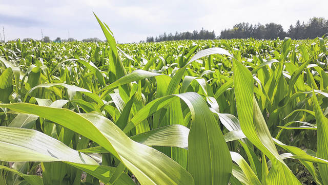 Ideal weather conditions are causing corn crops to spring up faster than usual.