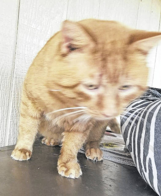Tommy, an orange tabby, is described by Mason County Animal Shelter Staff as a very large, sweet boy who has been neutered and vaccinated. He loves to lay in his cat bed. If interested in giving Tommy a forever home, call the shelter at 304-675-6458.