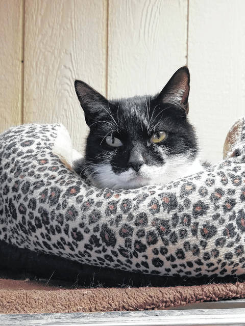 """Mason County Animal Shelter Staff say this female feline named Jasmine is two years old and described as """"very friendly."""" She's is searching for her forever home, her forever family and forever cat bed. Call the shelter staff about adopting Jasmine at 304-675-6458."""