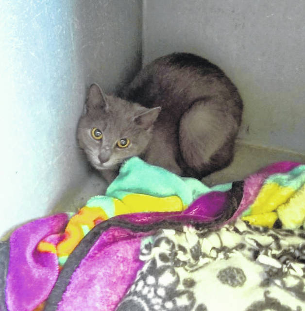 Mason County Animal Shelter staff say Kelly, this pretty gray female feline, is a young adult who is very shy but would make a great pet with the right person willing to give her a home, let her come out of her shell and bond with her for an unconditional friendship. If interested in adopting Kelly, call the shelter at 304-675-6458.