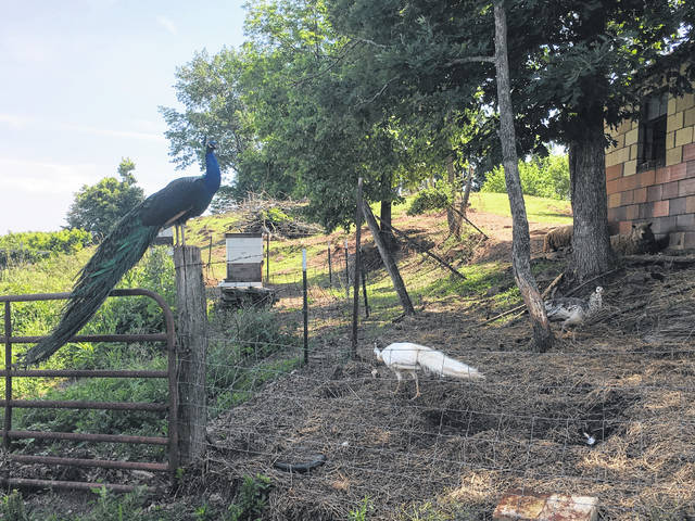 Martin Schaffer has several animals free to roam on his farm, pictured are a few of his peacocks.