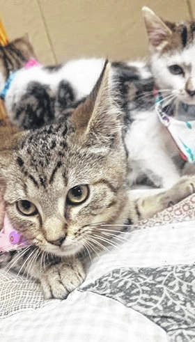 These cats are are currently available for adoption at the Mason County Animal Shelter. The shelter is hosting an adoption event at the Mason County Fair at its booth on the fair grounds. Animals will be spayed/neutered with their rabies vaccination. The shelter is currently at maximum capacity for cats.