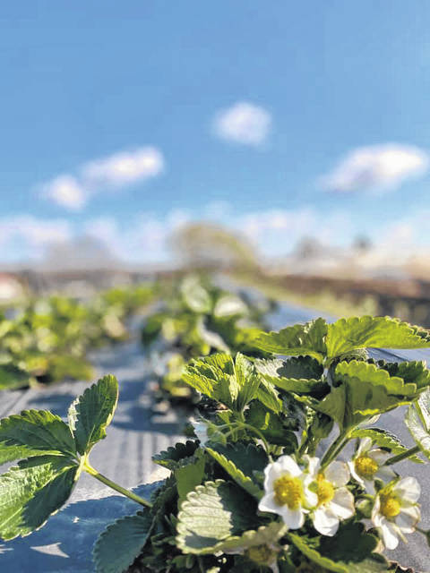 Cook Farm replanted their strawberries in 2019 and will be open for the u-pick season at the end of May with extra precautions.