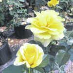 In season: The roses of May
