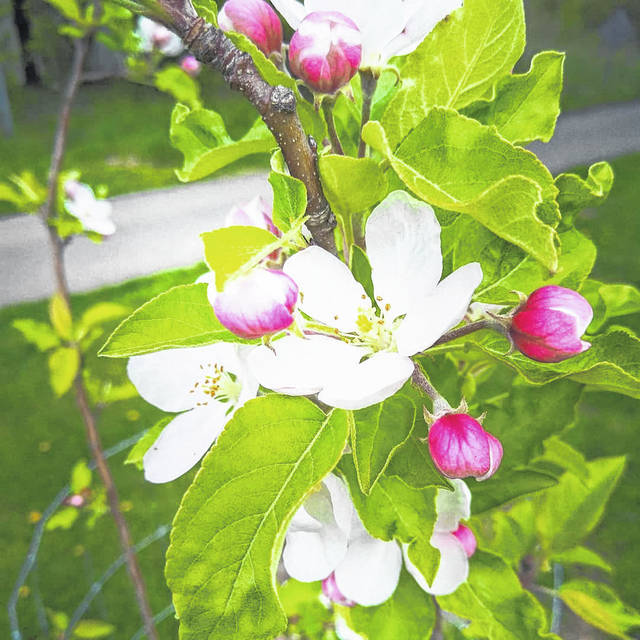 The first community orchard was established in Meigs County November, 2020. All 28 trees survived the winter.
