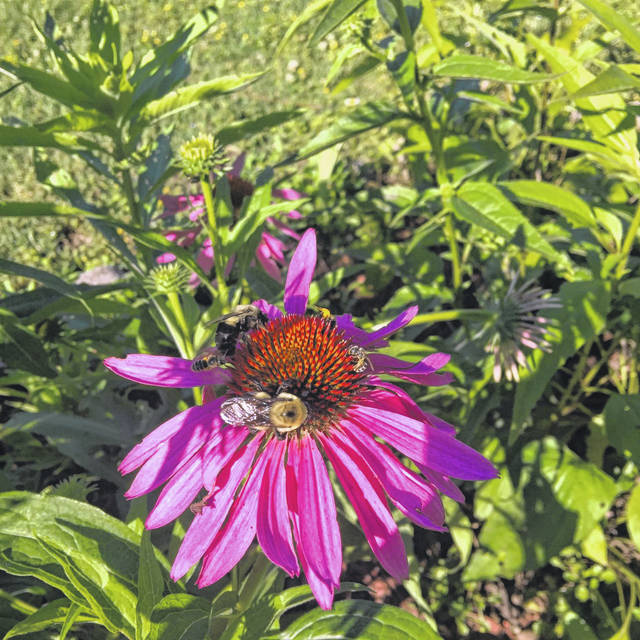 """Bumblebees can be quite loud during their """"buzz pollination"""" endeavors."""
