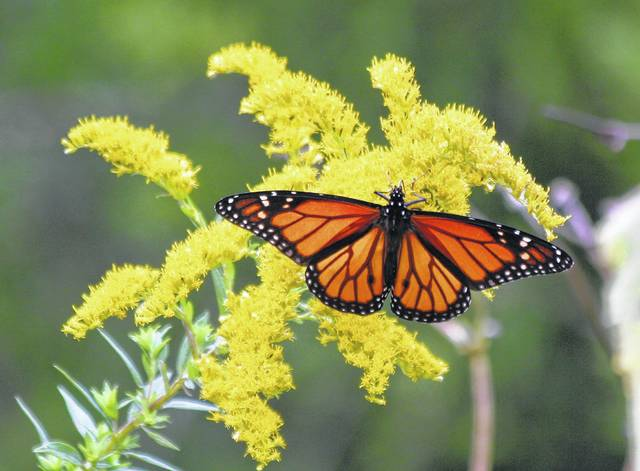 "<p class=""xmsonormal""><strong>Monarch butterflies are one of the many splendors of nature visitors can observe while exploring Aullwood's six miles of trails.</strong>"