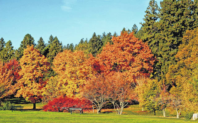<strong>Trees displaying the most color right now are the buckeyes as well as some of the maples and walnuts. The Virginia creeper is also showing awesome red color.</strong>