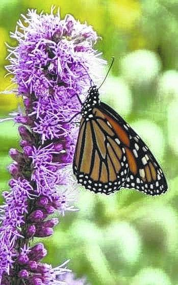 <strong>A monarch butterfly.</strong>