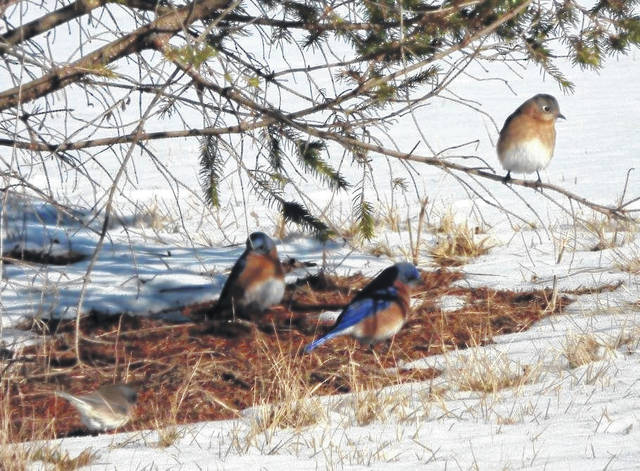 <strong>Eastern Bluebirds under a spruce tree at the Montgomery Soil &amp; Water Conservation District.</strong>