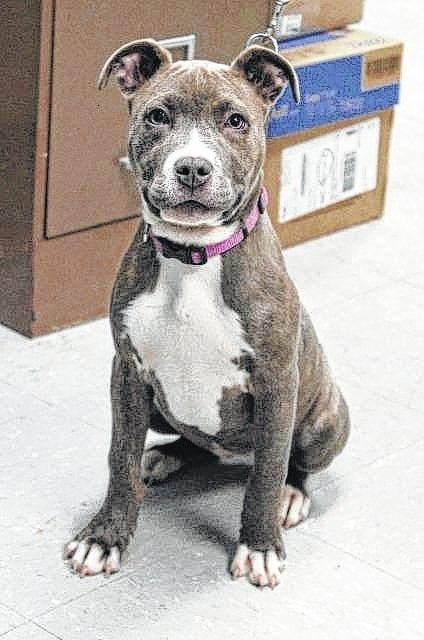 Hallie is a 13-week-old Blue Brindle Pit Bull. She is very energetic and playful. Hallie needs to be an only dog in the household. She has been spayed, received her DHPP vaccination, wormed, given heartworm preventative, flea treatment, and micro-chipped. If you are interested in giving Hallie a new home, please call the Fayette Humane Society at 740-335-8126 or fill out an online adoption application at www.fayettehumanesociety.com Please consider adopting from a shelter and give a homeless animal a new home.