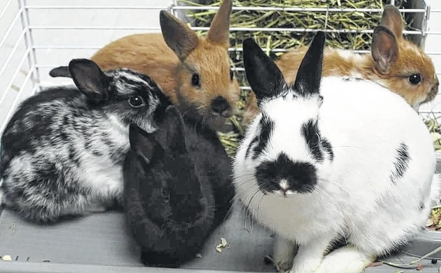 The Fayette Humane Society has a rabbit and bunnies available for adoption. If anyone is interested in adopting a bunny, please stop by their adoption and business center at 153 S. Main St. (East Street entrance) in Washington C.H. or call (740) 335-8126.