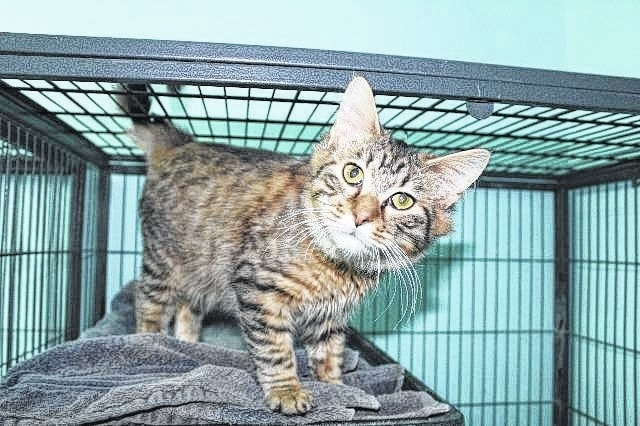 Meet Mr. Dash, a 6-month-old mainecoon. He is super friendly and loves to be on laps. Dash has received his FVRCPC and rabies vaccination, has been wormed, flea treated, neutered and micro-chipped. If you are interested in giving him a new-loving home, please call 740-335-8126. There are several animals in shelters that are waiting for their forever home. Please consider adopting rather than shopping for an animal. The Fayette Humane Society is also in need of puppy chow. You may donate items at their downtown adoption and business center located at 153 S. Main St., Suite 3. Donors may enter in the doors on the East Street side.