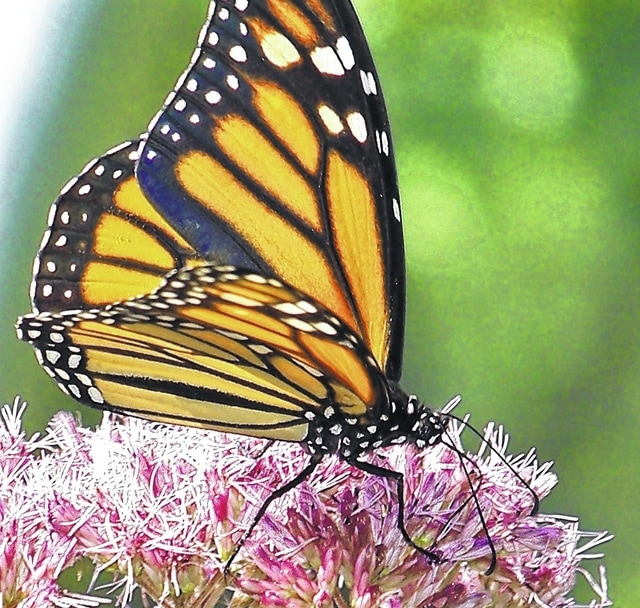 A monarch butterfly