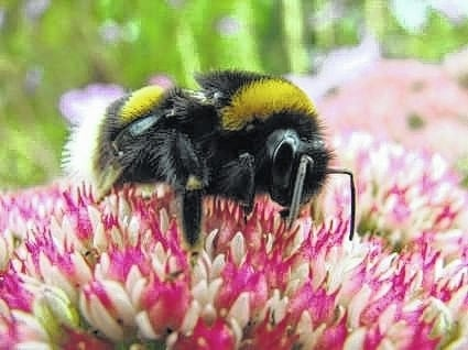 Bumble bee with fuzzy body