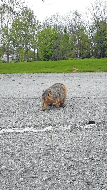 A red squirrel in Washington Park has lost its fear of humans.