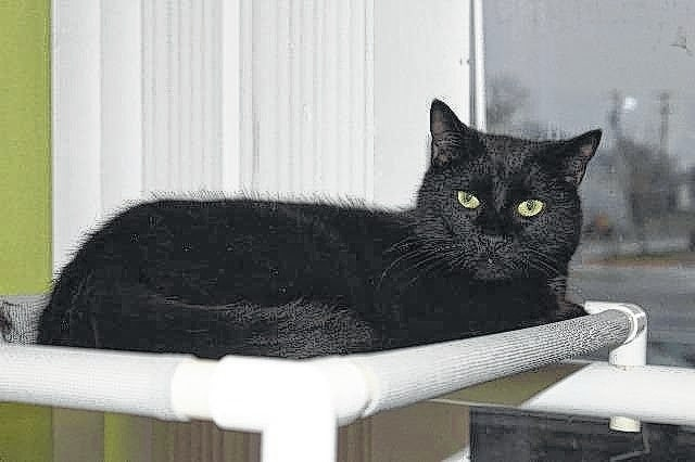 Meet Mr. Boogs! He is a 3-year-old domestic, short hair, cat. He is scared and needs to be with someone that wants a challenge. Mr. Boogs is lovable once his trust is gained and doesn't mind other cats. He loves to look out the window and relax. Mr. Boogs has received his FVRCPC vaccination, rabies vaccination and has been de-wormed, flea treated, neutered and micro-chipped. If interested in giving him a new loving home, call (740) 335-8126. There are several animals in shelters that are waiting for their forever home, so please consider adopting rather than shopping for your new friend. The Fayette Humane Society is also in need of puppy chow, puppy pads, dog treats and trash bags. Anyone may donate items at the downtown adoption and business center located at 153 S. Main St., Suite 3 in Washington C.H. Donors may enter in the doors on the East Street side.