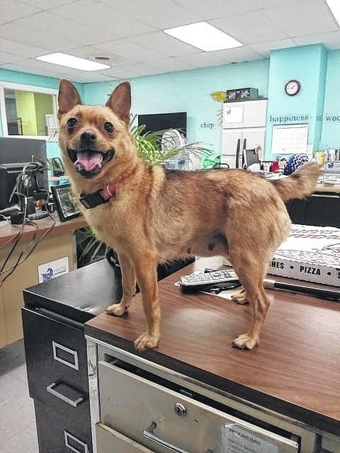 Meet Tater, a 2-year-old Chihuahua and Pomeranian mix. Tater is very sweet and loves to give kisses and snuggle. She has been spayed, vaccinated, dewormed, heartworm tested, flea treated, and micro-chipped. The Fayette Humane Society is in need of pedigree or purina puppy chow. Donations can be dropped off at their downtown adoption center on the corner of South Main Street and East Street (use East Street entrance).