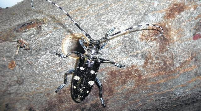 Asian longhorned beetle with round exit hole.