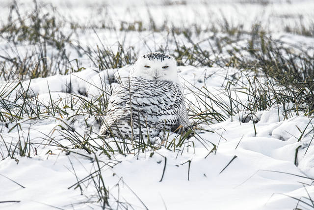 Several photos online have been shared showing a beautiful visitor to Fayette County, a snowy white owl. This photo was taken on Christmas Day.