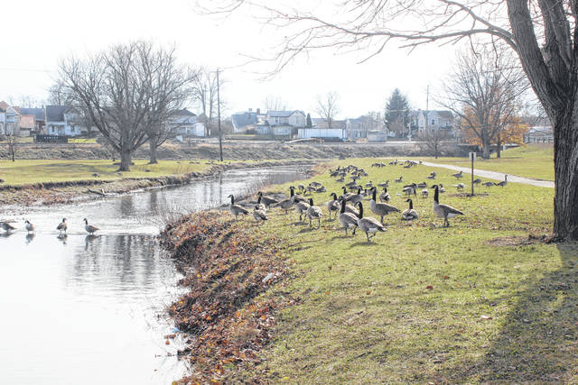 A gaggle of geese visited Eyman Park in Washington C.H. on Friday morning.