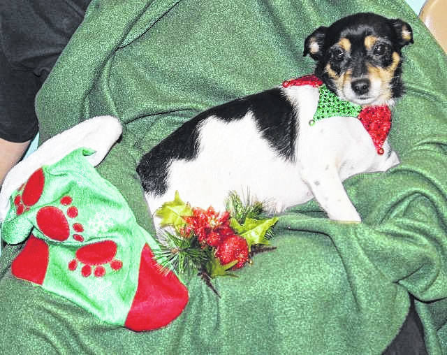 Isabell, a 1-year-old Jack Russell Terrier mix, will be up for adoption at Saturday's Paws and Claws Christmas Celebration and Special Adoption.
