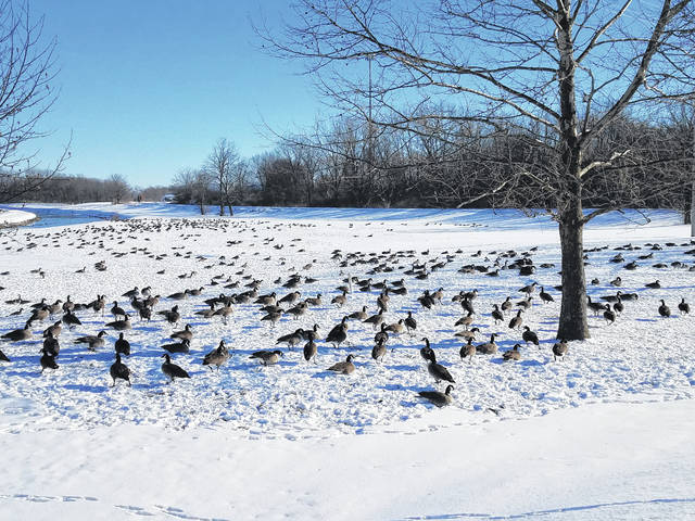 Thanks to a tip from a local reader, the Record-Herald was able to photograph this scene of hundreds of geese over by Christman Park. Call the Record-Herald at (740) 335-3611 to submit tips to the newsroom.