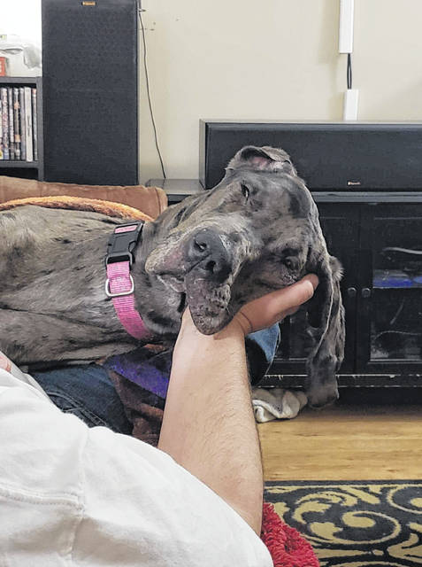 Galaxy, a female Great Dane, in the arms of her new owner.