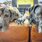Woman sentenced in neglected Great Dane case