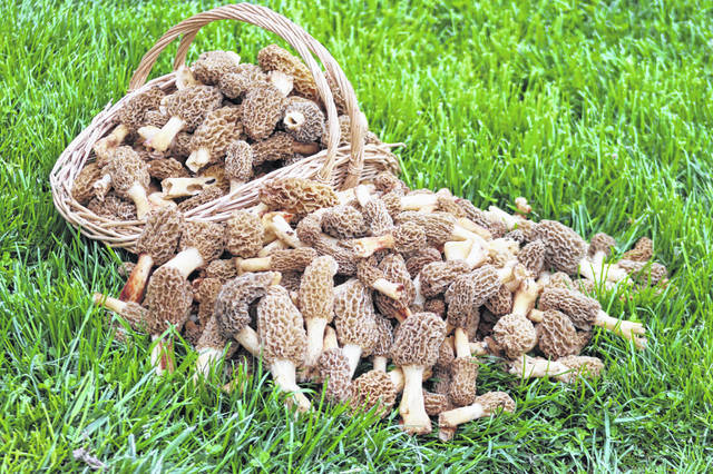Some of the 350 morels the Yoders found in their woods.