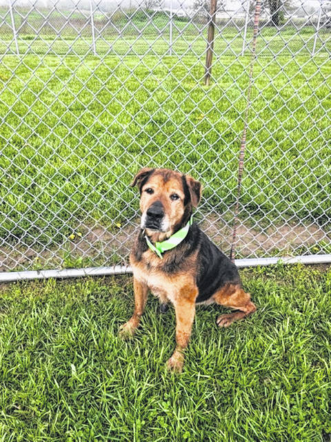 Tank is a a senior Shepherd mix, who is at least 12 years old. He does have some hip issues, but we are hoping to find a sanctuary or retirement place for this old guy. The general fee is $80 and includes the parvo/ rabies shot and this year's dog license.