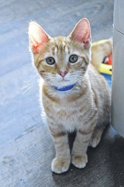"""Kittens like """"Butterscotch"""" will be available for adoption this Saturday at the Fayette Regional Humane Society's """"Meow Luau"""" adoption special."""
