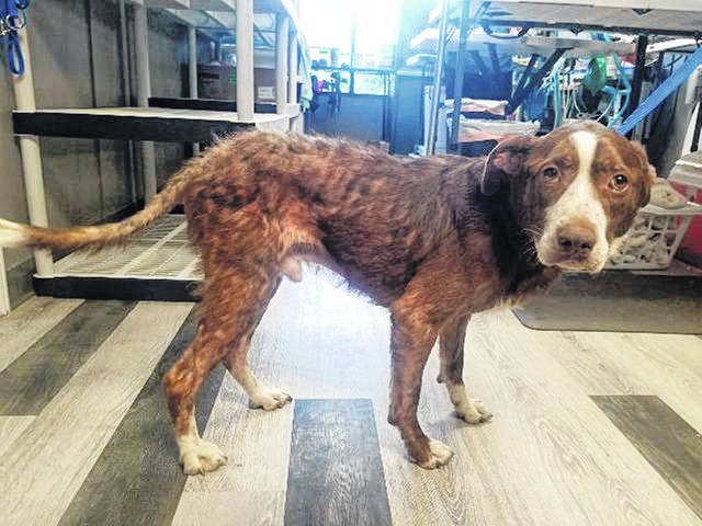 """""""Hershey,"""" a Pit Bull/Lab mix dog, has been adopted into a new home."""