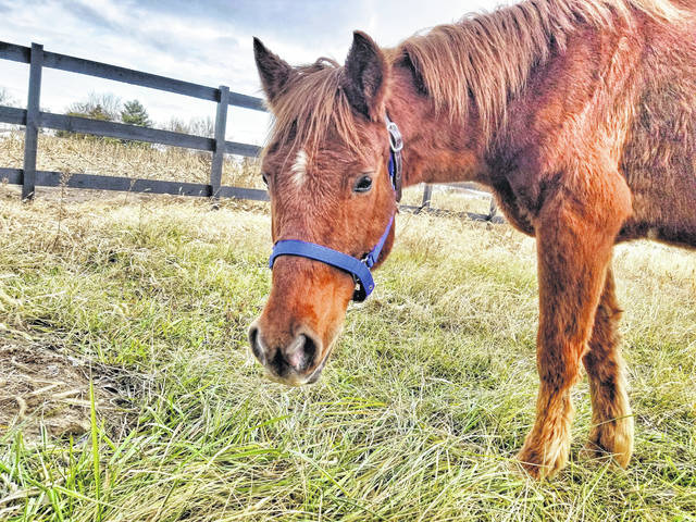 """""""Charlie"""" was initially surrendered in an emaciated state with several ulcers in his mouth but now weighs over 720 pounds."""