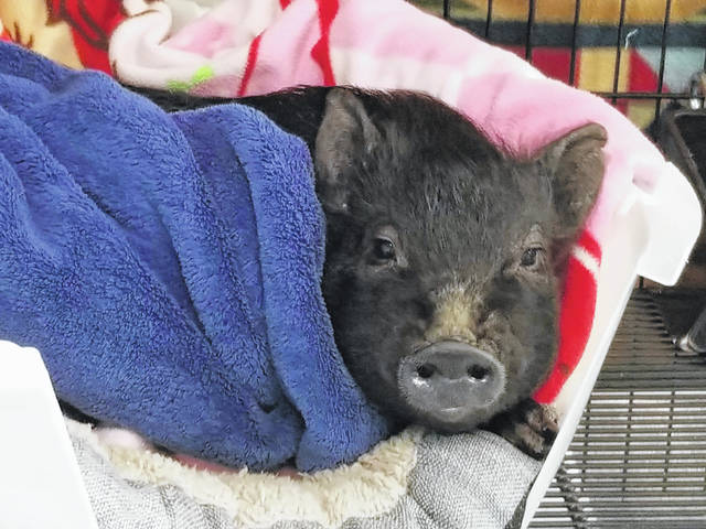 Wilbur is now with a family in Pennsylvania after being surrendered to the Fayette Regional Humane Society in December of 2019.