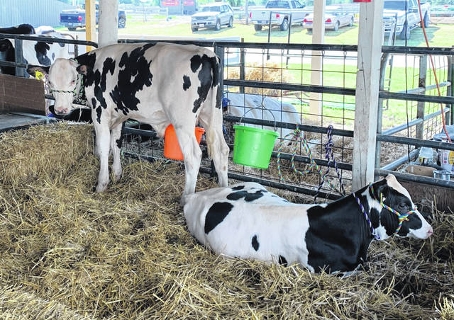 Cattle relaxing in a fresh bed of straw on the Fayette County Fairgrounds.