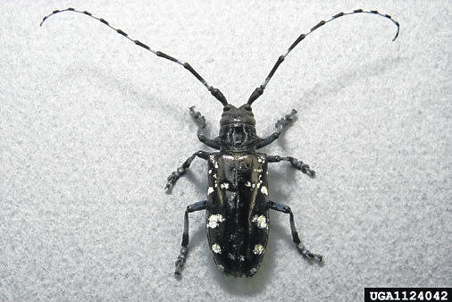 Residents can report the insect or tree damage by calling the ALB hotline at 1-866-702-9938 or reporting online at www.AsianLonghornedBeetle.com.