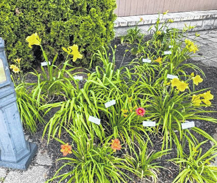 A daylily bed at the park.
