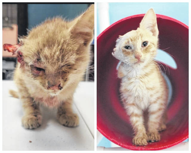 """A kitten, named """"Van Gogh,"""" is in the care of Fayette Regional Humane Society after being found in the local Walmart parking lot. He was believed to have traveled from Vinton County in the engine compartment of a vehicle."""