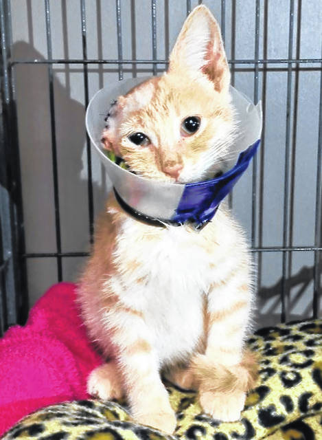 """""""Van Gogh"""" is doing well in the care of the Fayette Regional Humane Society after being found in the local Walmart parking lot with several injuries. It is believed he traveled to the parking lot from Vinton County in the engine compartment of a vehicle."""