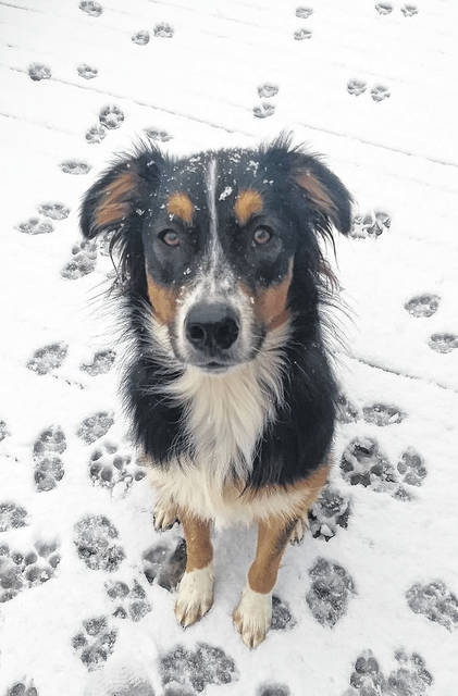 """Koda,"" a family member of local Shelby Mourer, experienced his first snow on Monday. According to Mourer, Koda is almost 1-year-old and loved the snow. Koda especially enjoyed jumping in the snow and having his human throw snowballs."