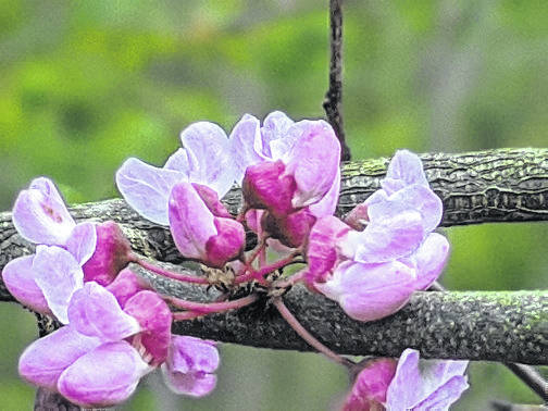 The Eastern redbud is host to 24 species of moth and butterflies.