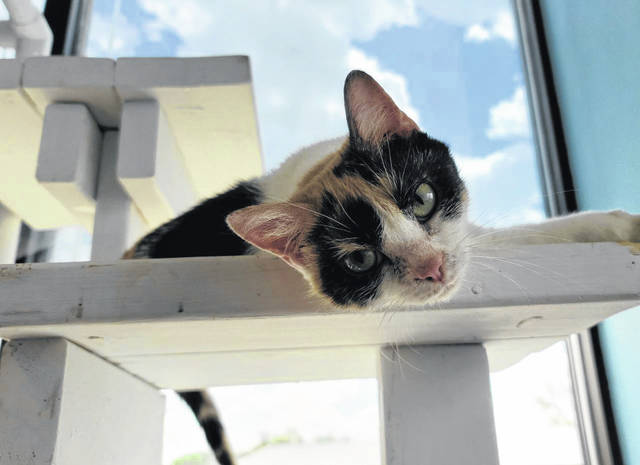 Sophie, a 1-year-old, domestic-short-haired is one of two cats that were involved in a recent abandonment case where the owner was charged, according to Fayette Regional Humane Society Chief Humane Agent and Outreach Director Brad Adams.