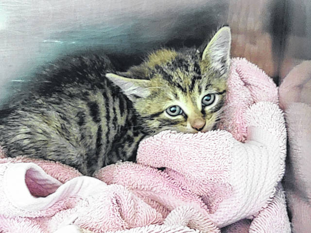 The kitten that was rescued from the storm drain, Brook, is doing well but will need socialization with FRHS staff.