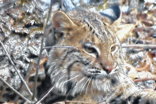 Bobcat in Ohio