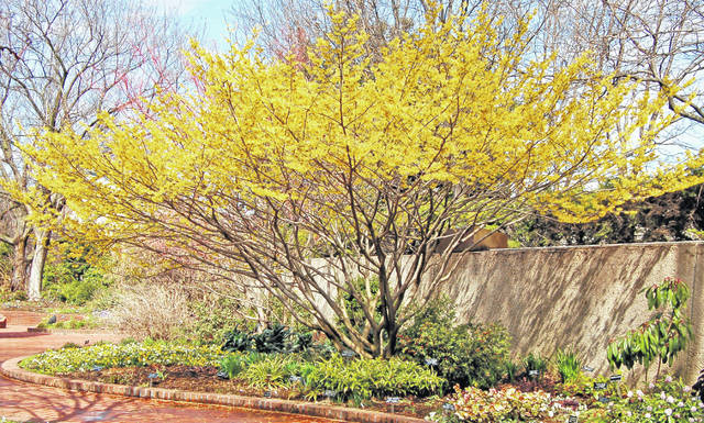 Witch Hazel Blooms In Late Winter Portsmouth Daily Times