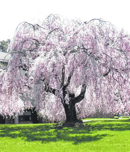 Succeeding With Weeping Cherry Trees Portsmouth Daily Times