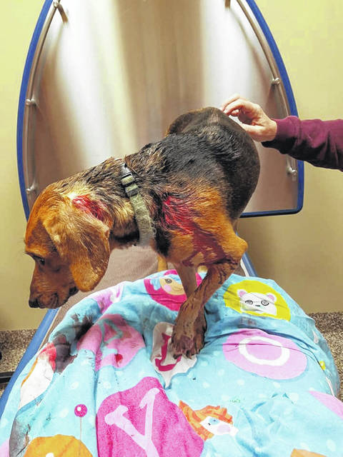 Picture of Cava shortly after arriving at Shawnee Animal Clinic