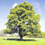 Comparing fast-growing shade trees